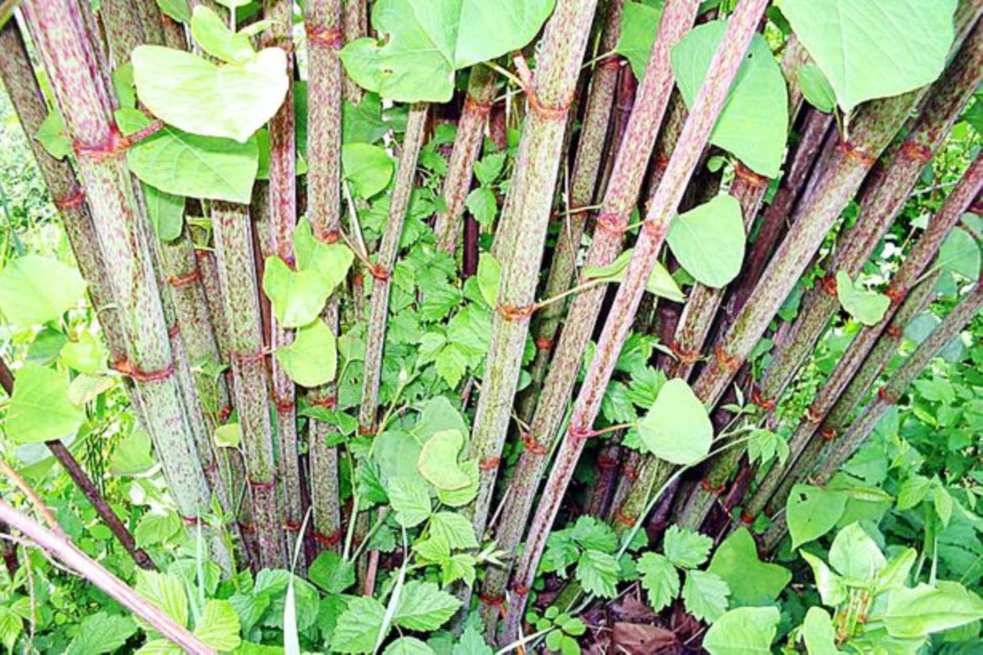 Japanese Knotweed, what is it?